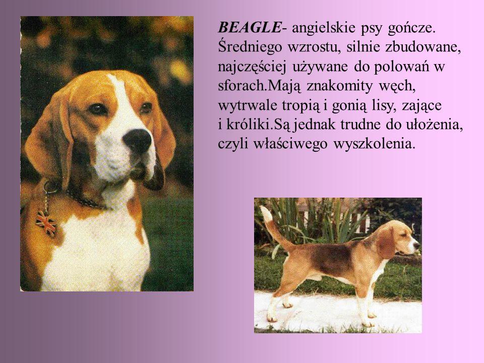 BEAGLE- angielskie psy gończe. Średniego wzrostu, silnie zbudowane, najczęściej używane do polowań w sforach.Mają znakomity węch, wytrwale tropią i go