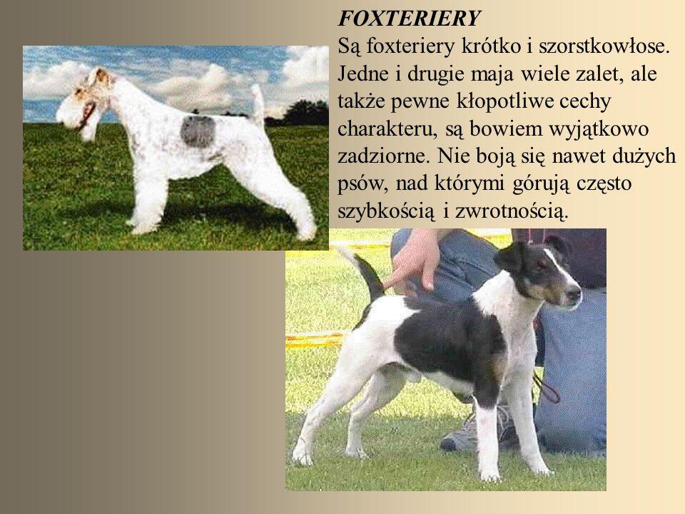 FOXTERIERY Są foxteriery krótko i szorstkowłose.
