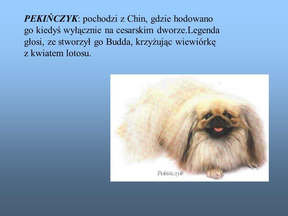 PEKIŃCZYK: pochodzi z Chin, gdzie hodowano go kiedyś wyłącznie na cesarskim dworze.Legenda głosi, ze stworzył go Budda, krzyżując wiewiórkę z kwiatem