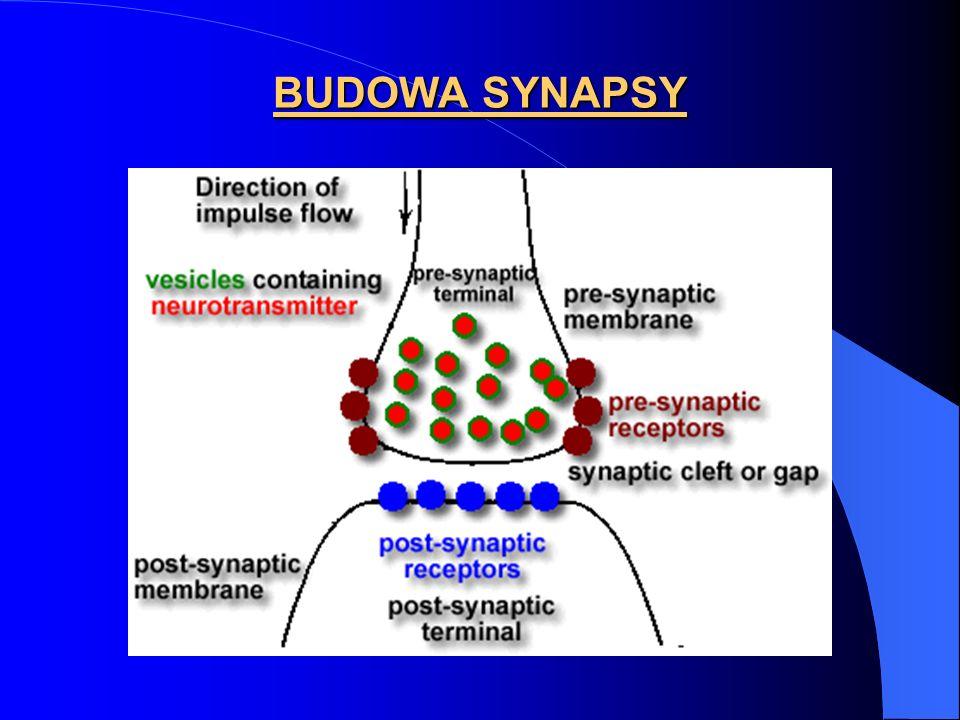 BUDOWA SYNAPSY