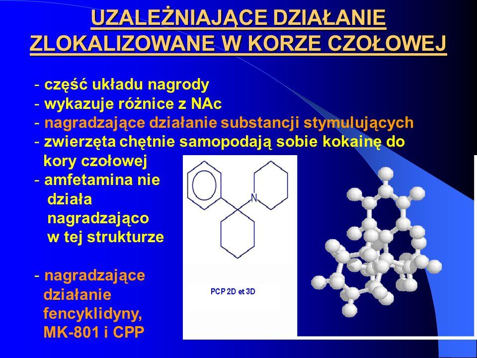 UZALEŻNIAJĄCE DZIAŁANIE ZLOKALIZOWANE W KORZE CZOŁOWEJ - część układu nagrody - wykazuje różnice z NAc - nagradzające działanie substancji stymulujących - zwierzęta chętnie samopodają sobie kokainę do kory czołowej - amfetamina nie działa nagradzająco w tej strukturze - nagradzające działanie fencyklidyny, MK-801 i CPP