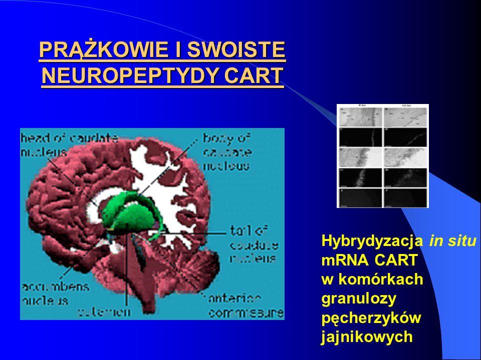 PRĄŻKOWIE I SWOISTE NEUROPEPTYDY CART Hybrydyzacja in situ mRNA CART w komórkach granulozy pęcherzyków jajnikowych