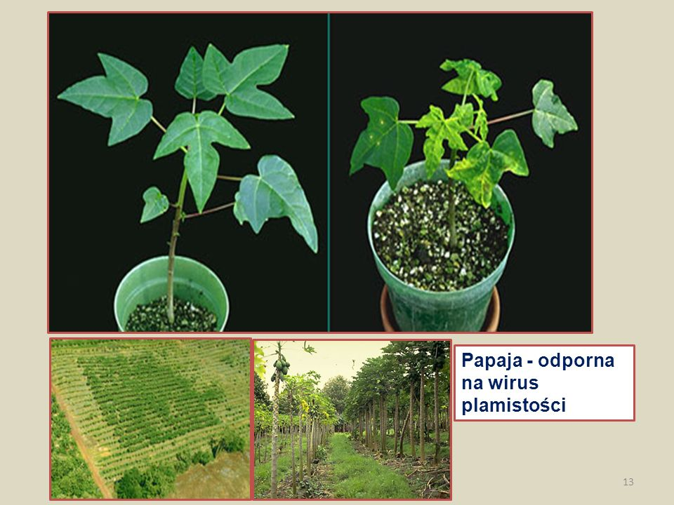 Papaja - odporna na wirus plamistości 13