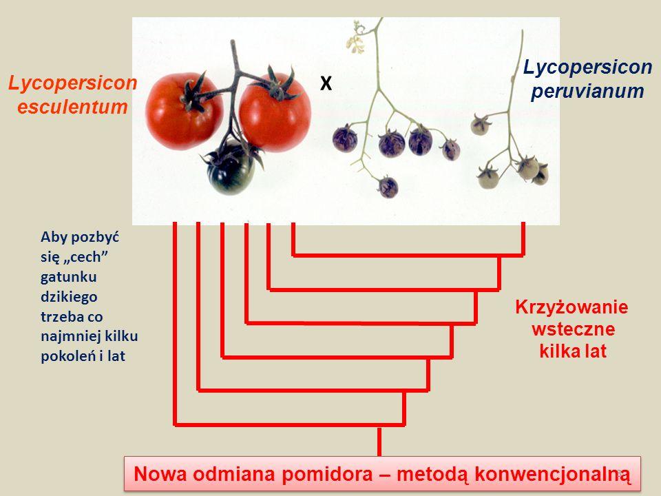 Lycopersicon esculentum Lycopersicon peruvianum Krzyżowanie wsteczne kilka lat Nowa odmiana pomidora – metodą konwencjonalną X 3 Aby pozbyć się cech g