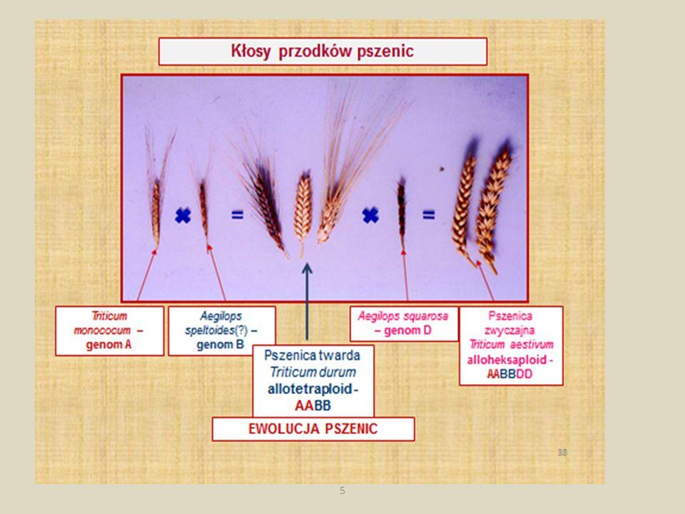 Ogromnym osiągnięciem hodowlanym ubiegłego wieku było otrzymanie nowego gatunku uprawnego pszenżyta Ten sukces zawdzięczamy wielu polskim naukowcom i hodowcom, a zwłaszcza zespołom prof.