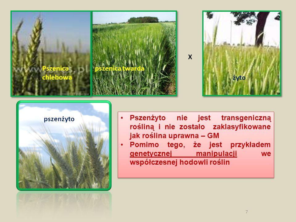 7 Pszenica pszenica twarda chlebowa żyto pszenżyto X Pszenżyto nie jest transgeniczną rośliną i nie zostało zaklasyfikowane jak roślina uprawna – GM P