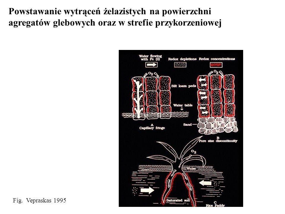 Fig. Vepraskas 1995 Powstawanie wytrąceń żelazistych na powierzchni agregatów glebowych oraz w strefie przykorzeniowej