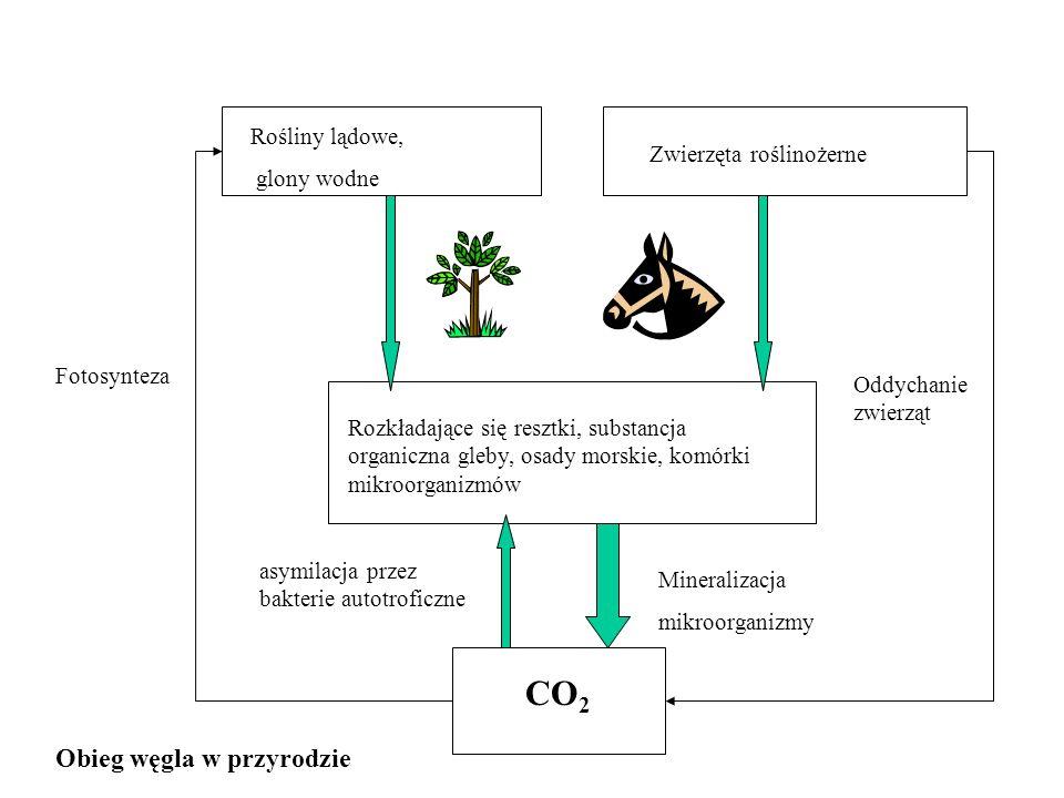 Fotosynteza CO 2 Mineralizacja mikroorganizmy asymilacja przez bakterie autotroficzne Rozkładające się resztki, substancja organiczna gleby, osady mor