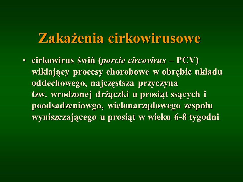 Zakażenia cirkowirusowe cirkowirus świń (porcie circovirus – PCV) wikłający procesy chorobowe w obrębie układu oddechowego, najczęstsza przyczyna tzw.