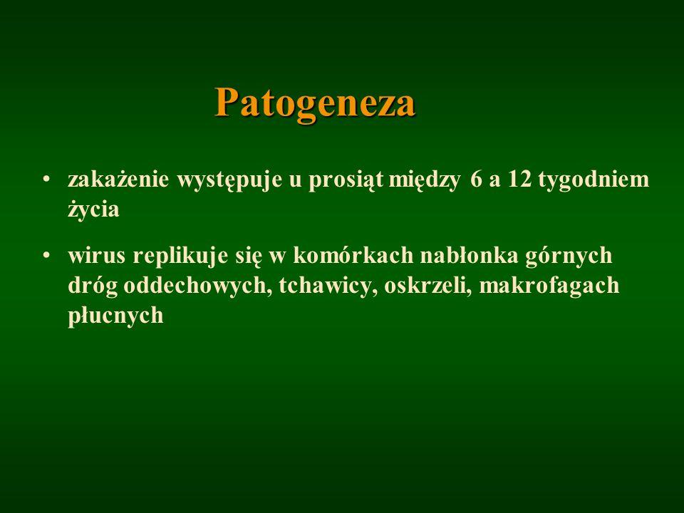 Patogeneza zakażenie występuje u prosiąt między 6 a 12 tygodniem życia wirus replikuje się w komórkach nabłonka górnych dróg oddechowych, tchawicy, os