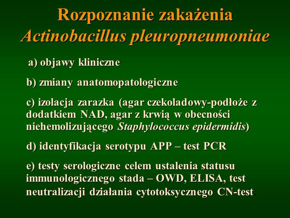 Rozpoznanie zakażenia Actinobacillus pleuropneumoniae a) objawy kliniczne b) zmiany anatomopatologiczne b) zmiany anatomopatologiczne c) izolacja zara