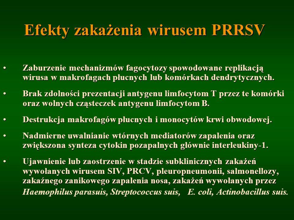 Efekty zakażenia wirusem PRRSV Zaburzenie mechanizmów fagocytozy spowodowane replikacją wirusa w makrofagach płucnych lub komórkach dendrytycznych.Zab