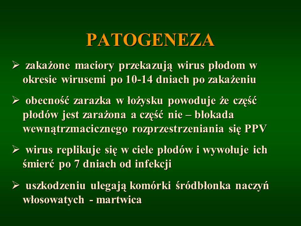 PATOGENEZA zakażone maciory przekazują wirus płodom w okresie wirusemi po 10-14 dniach po zakażeniu zakażone maciory przekazują wirus płodom w okresie
