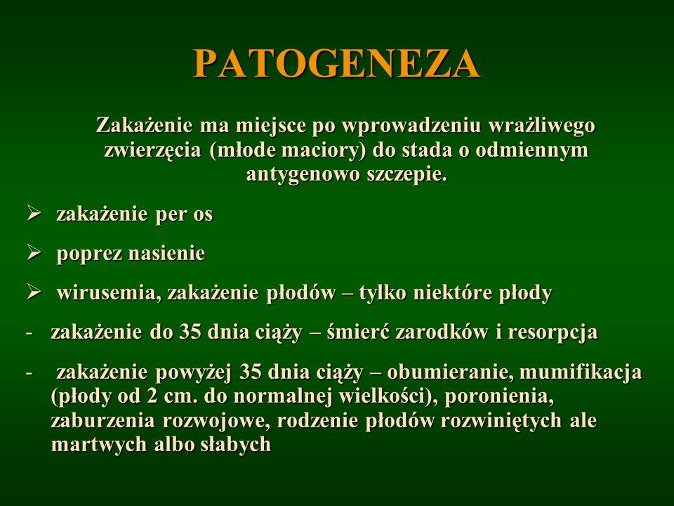 PATOGENEZA Zakażenie ma miejsce po wprowadzeniu wrażliwego zwierzęcia (młode maciory) do stada o odmiennym antygenowo szczepie. Zakażenie ma miejsce p