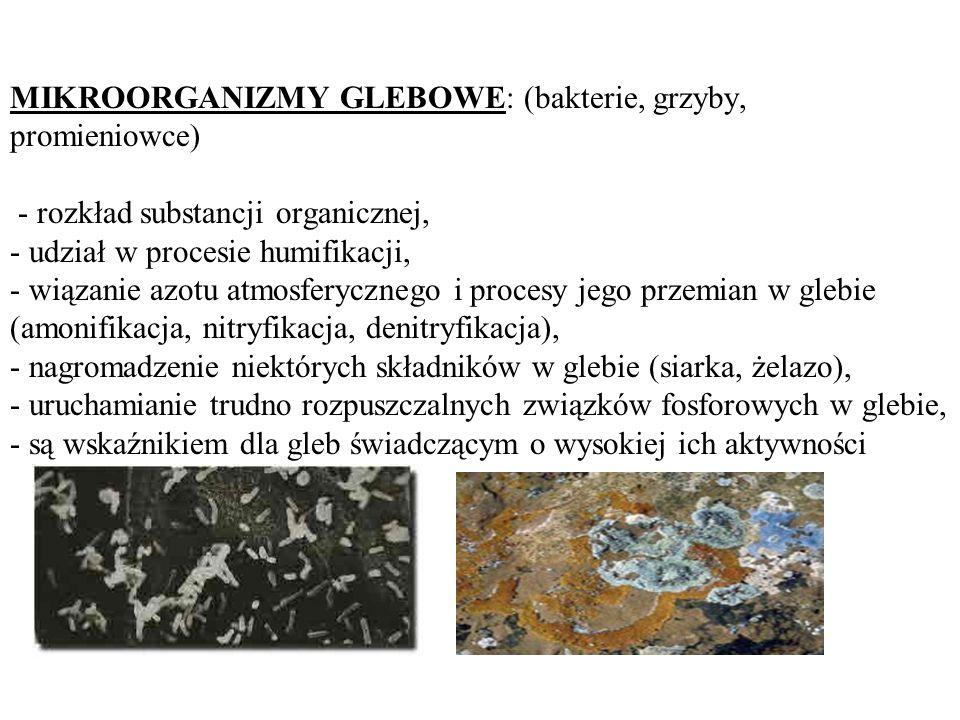MIKROORGANIZMY GLEBOWE: (bakterie, grzyby, promieniowce) - rozkład substancji organicznej, - udział w procesie humifikacji, - wiązanie azotu atmosfery