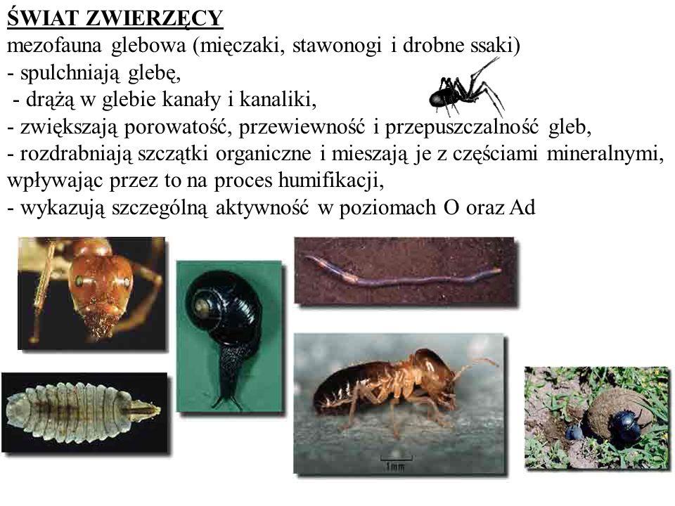 ŚWIAT ZWIERZĘCY mezofauna glebowa (mięczaki, stawonogi i drobne ssaki) - spulchniają glebę, - drążą w glebie kanały i kanaliki, - zwiększają porowatoś