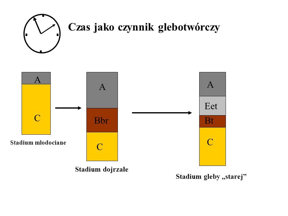 Czas jako czynnik glebotwórczy Stadium młodociane Stadium dojrzałe Stadium gleby starej A C A Bbr C A Eet Bt C