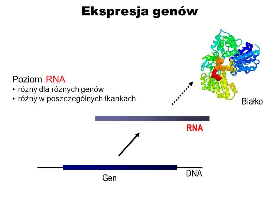 Ekspresja genów DNA Gen RNA Białko Poziom RNA różny dla różnych genów różny w poszczególnych tkankach