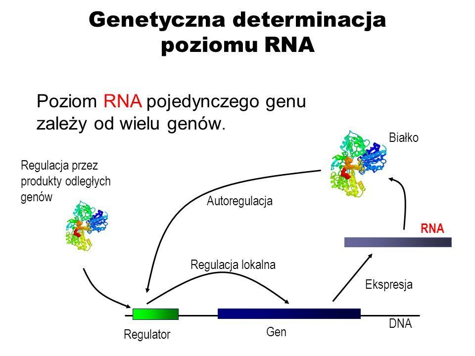 Genom (w 611 częściach) Liczba powiązań z ekspresją różnych genów Gorące miejsca regulacji poziomu RNA Większość części genomu reguluje ekspresję kilku różnych RNA Genetyczna determinacja poziomu RNA Rockman i Kruglyak 2006 Nature Reviews Genetics 7: 862-872