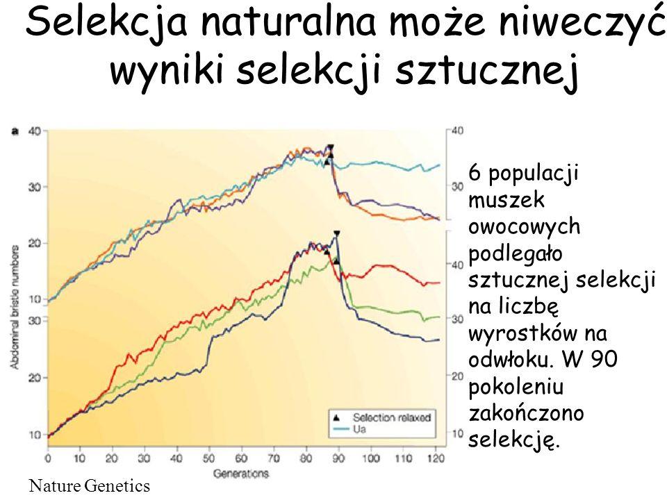 Selekcja naturalna może niweczyć wyniki selekcji sztucznej 6 populacji muszek owocowych podlegało sztucznej selekcji na liczbę wyrostków na odwłoku. W