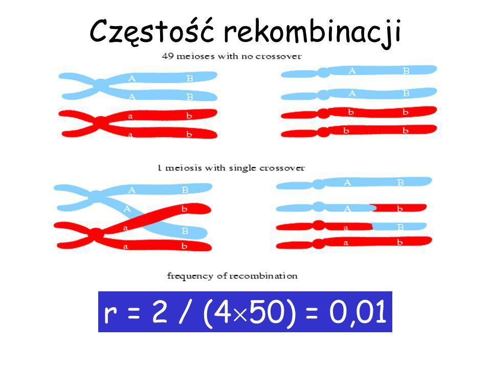 Rekonbinacje a crossing over Rekombinacje obserwujemy tylko przy nieparzystej liczbie crossing over między dwoma loci.