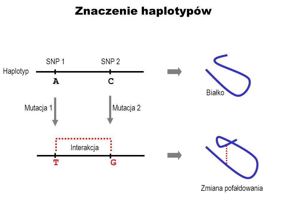 Znaczenie haplotypów AC TG Mutacja 1Mutacja 2 Interakcja Zmiana pofałdowania SNP 1 Białko SNP 2 Haplotyp