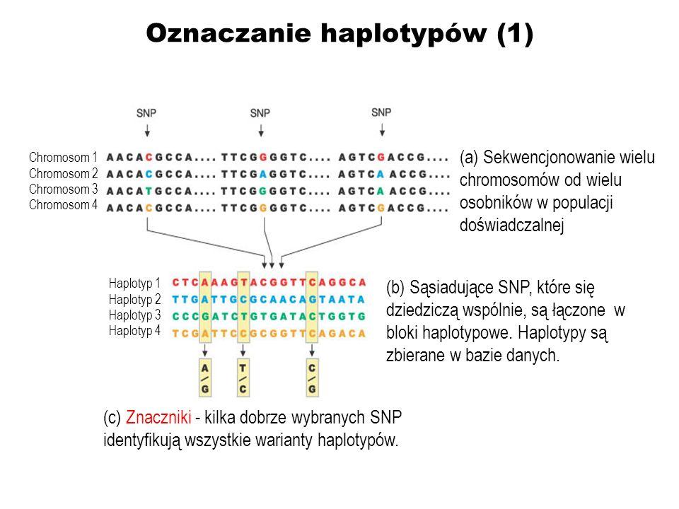 Oznaczanie haplotypów (1) (b) Sąsiadujące SNP, które się dziedziczą wspólnie, są łączone w bloki haplotypowe. Haplotypy są zbierane w bazie danych. (a
