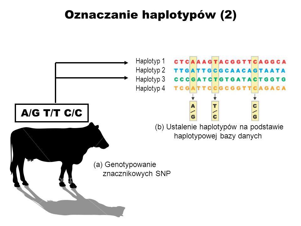 Oznaczanie haplotypów (2) A/G T/T C/C (a) Genotypowanie znacznikowych SNP (b) Ustalenie haplotypów na podstawie haplotypowej bazy danych Haplotyp 1 Ha