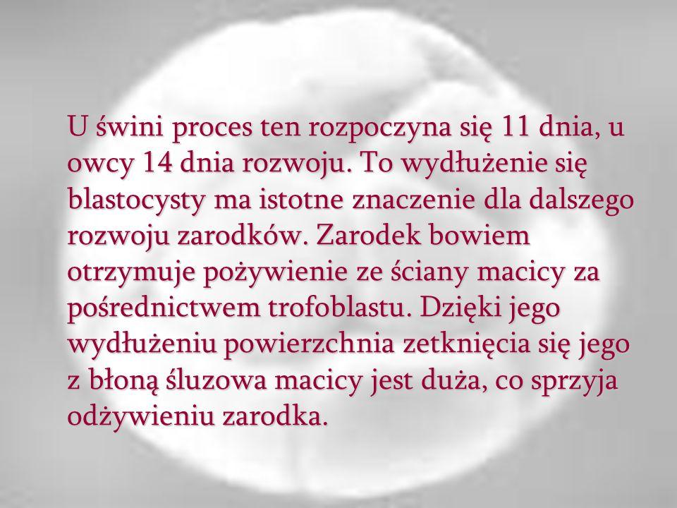 U świni proces ten rozpoczyna się 11 dnia, u owcy 14 dnia rozwoju. To wydłużenie się blastocysty ma istotne znaczenie dla dalszego rozwoju zarodków. Z