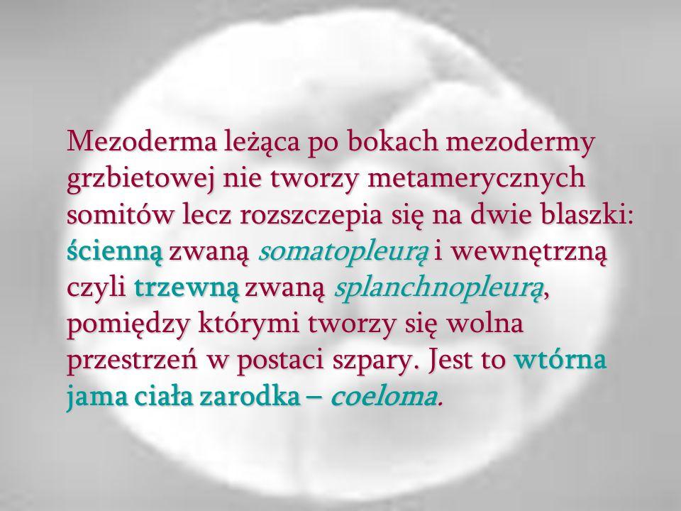 Mezoderma leżąca po bokach mezodermy grzbietowej nie tworzy metamerycznych somitów lecz rozszczepia się na dwie blaszki: ścienną zwaną somatopleurą i