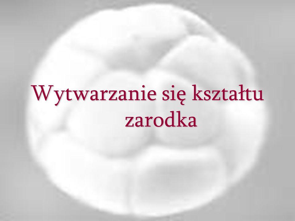Wytwarzanie się kształtu zarodka