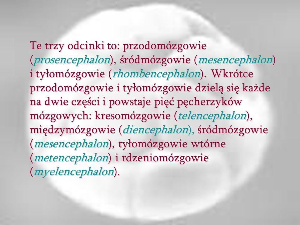 Te trzy odcinki to: przodomózgowie (prosencephalon), śródmózgowie (mesencephalon) i tyłomózgowie (rhombencephalon). Wkrótce przodomózgowie i tyłomózgo