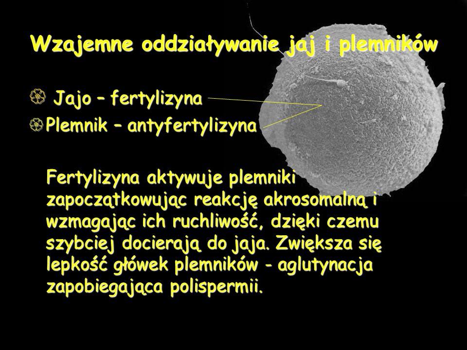 Wzajemne oddziaływanie jaj i plemników Jajo – fertylizyna Jajo – fertylizyna Plemnik – antyfertylizyna Plemnik – antyfertylizyna Fertylizyna aktywuje