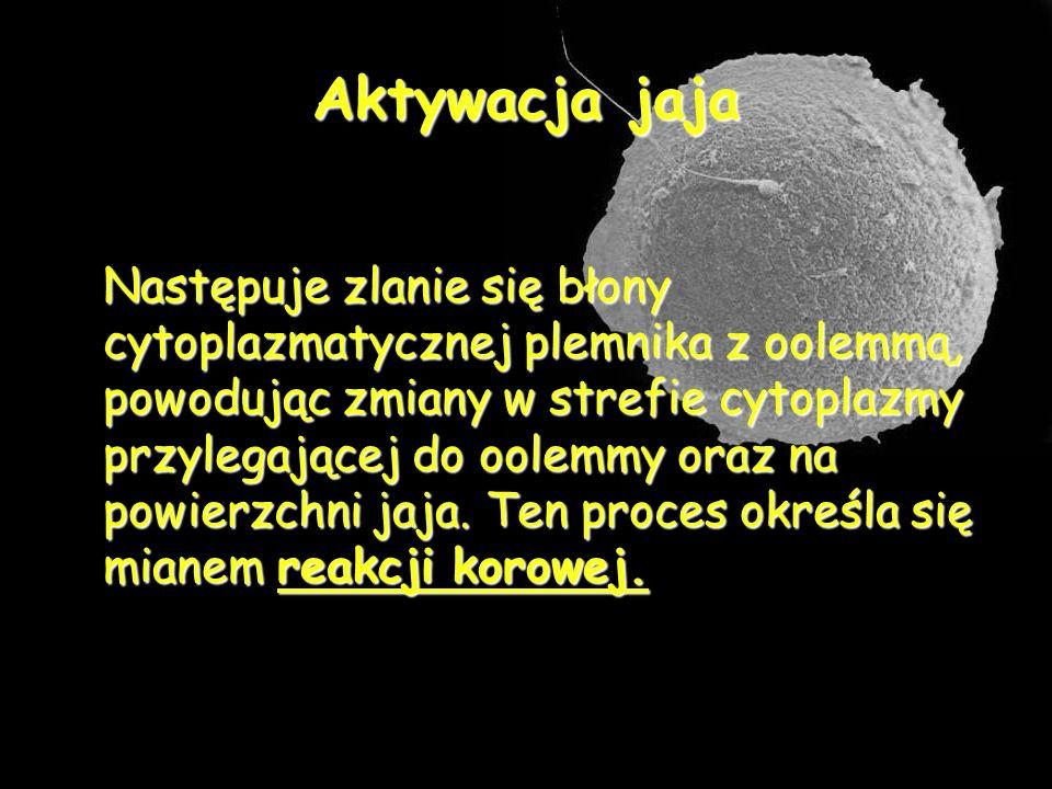 Aktywacja jaja Następuje zlanie się błony cytoplazmatycznej plemnika z oolemmą, powodując zmiany w strefie cytoplazmy przylegającej do oolemmy oraz na