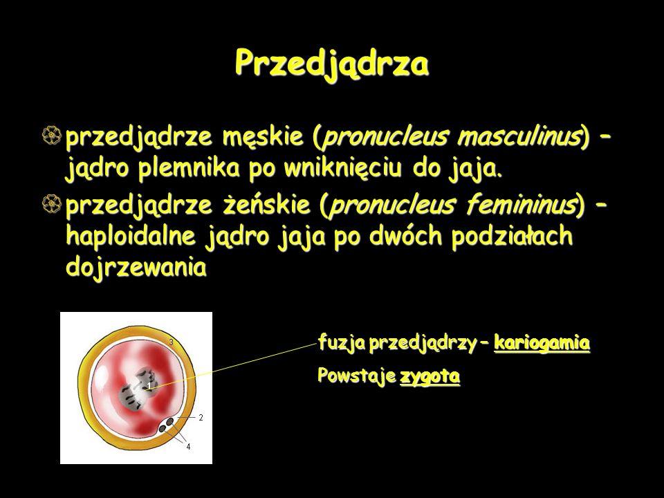 Przedjądrza przedjądrze męskie (pronucleus masculinus) – jądro plemnika po wniknięciu do jaja. przedjądrze męskie (pronucleus masculinus) – jądro plem