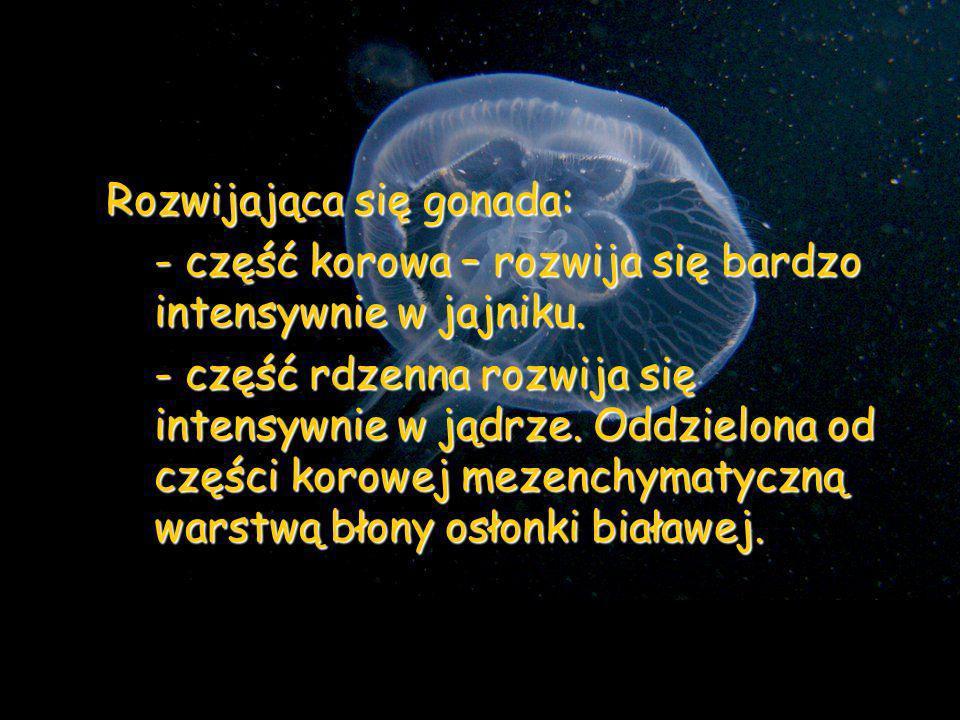 Rozwijająca się gonada: - część korowa – rozwija się bardzo intensywnie w jajniku. - część rdzenna rozwija się intensywnie w jądrze. Oddzielona od czę
