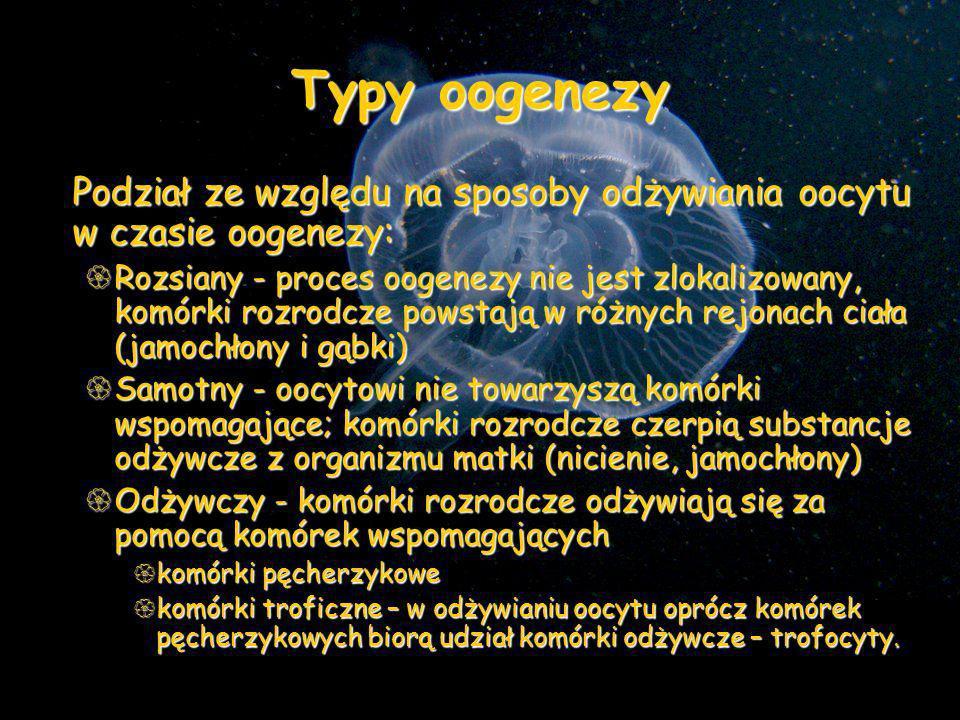 Typy oogenezy Podział ze względu na sposoby odżywiania oocytu w czasie oogenezy: Rozsiany - proces oogenezy nie jest zlokalizowany, komórki rozrodcze