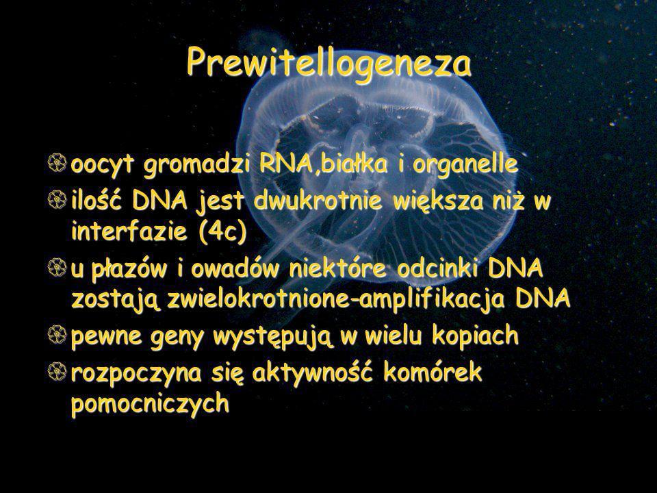 Prewitellogeneza oocyt gromadzi RNA,białka i organelle oocyt gromadzi RNA,białka i organelle ilość DNA jest dwukrotnie większa niż w interfazie (4c) i