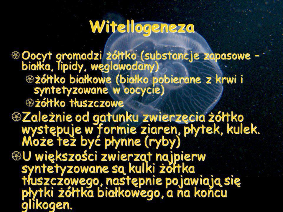 Witellogeneza Oocyt gromadzi żółtko (substancje zapasowe – białka, lipidy, węglowodany) Oocyt gromadzi żółtko (substancje zapasowe – białka, lipidy, w