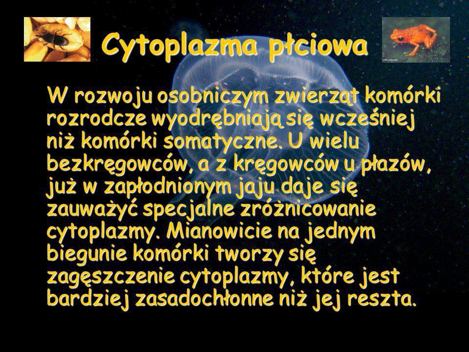 Nazwano je cytoplazmą płciową lub biegunową.
