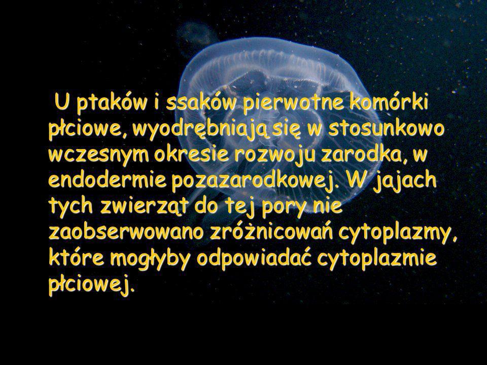 Typy oogenezy Podział ze względu na sposoby odżywiania oocytu w czasie oogenezy: Rozsiany - proces oogenezy nie jest zlokalizowany, komórki rozrodcze powstają w różnych rejonach ciała (jamochłony i gąbki) Rozsiany - proces oogenezy nie jest zlokalizowany, komórki rozrodcze powstają w różnych rejonach ciała (jamochłony i gąbki) Samotny - oocytowi nie towarzyszą komórki wspomagające; komórki rozrodcze czerpią substancje odżywcze z organizmu matki (nicienie, jamochłony) Samotny - oocytowi nie towarzyszą komórki wspomagające; komórki rozrodcze czerpią substancje odżywcze z organizmu matki (nicienie, jamochłony) Odżywczy - komórki rozrodcze odżywiają się za pomocą komórek wspomagających Odżywczy - komórki rozrodcze odżywiają się za pomocą komórek wspomagających komórki pęcherzykowe komórki pęcherzykowe komórki troficzne – w odżywianiu oocytu oprócz komórek pęcherzykowych biorą udział komórki odżywcze – trofocyty.