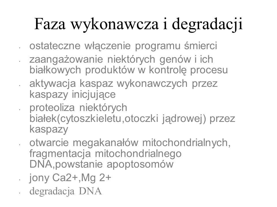Faza wykonawcza i degradacji ostateczne włączenie programu śmierci zaangażowanie niektórych genów i ich białkowych produktów w kontrolę procesu aktywa