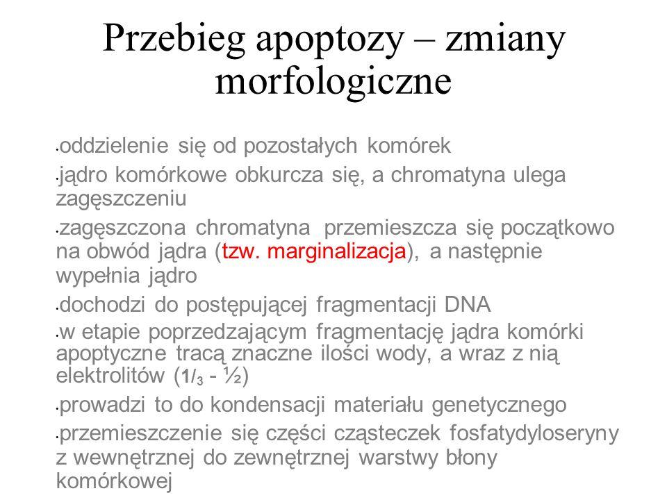 Przebieg apoptozy – zmiany morfologiczne oddzielenie się od pozostałych komórek jądro komórkowe obkurcza się, a chromatyna ulega zagęszczeniu zagęszcz