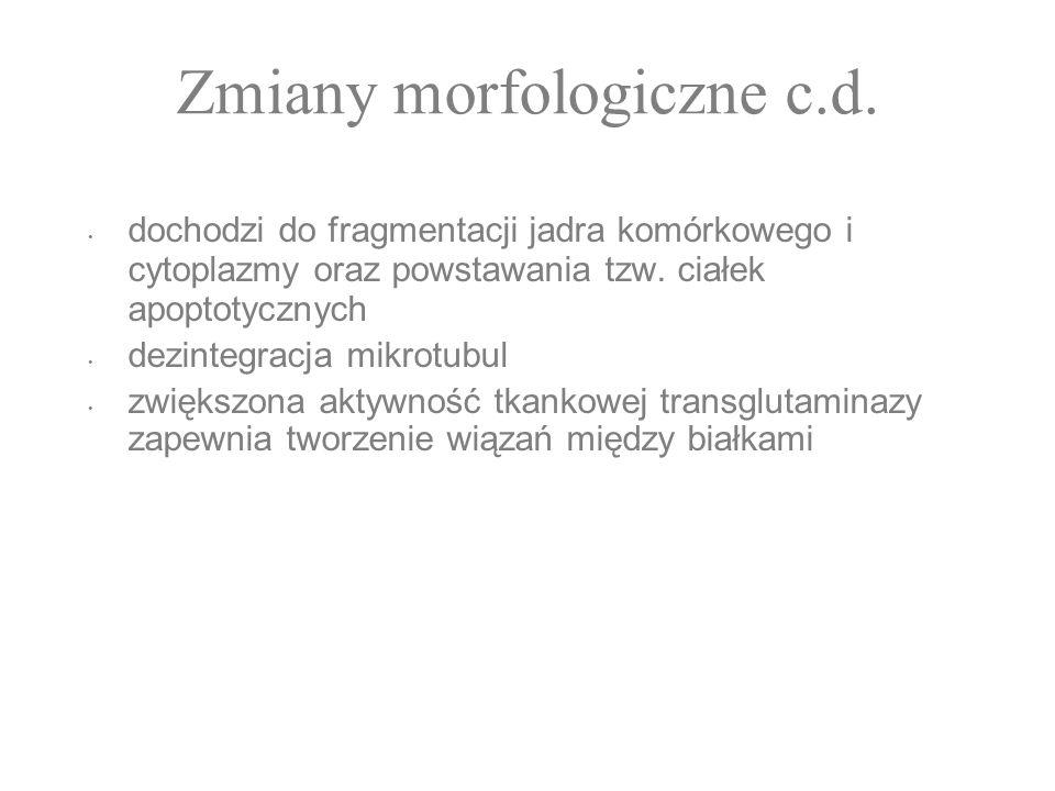 Zmiany morfologiczne c.d. dochodzi do fragmentacji jadra komórkowego i cytoplazmy oraz powstawania tzw. ciałek apoptotycznych dezintegracja mikrotubul