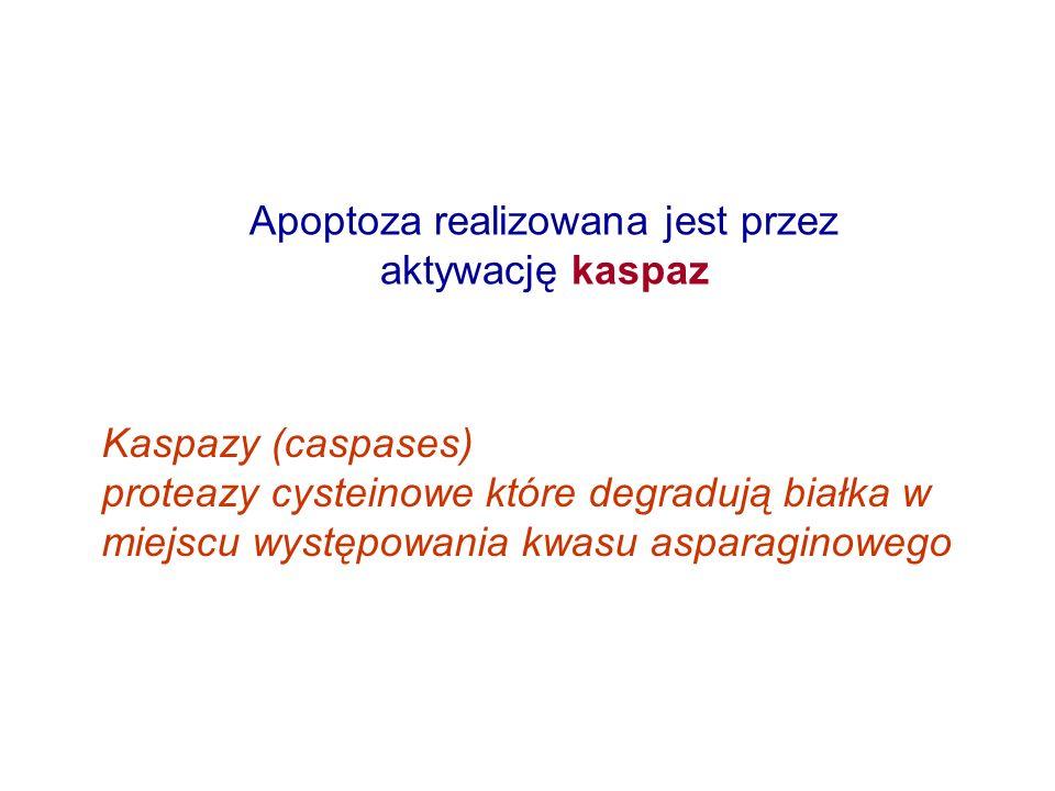 Apoptoza realizowana jest przez aktywację kaspaz Kaspazy (caspases) proteazy cysteinowe które degradują białka w miejscu występowania kwasu asparagino