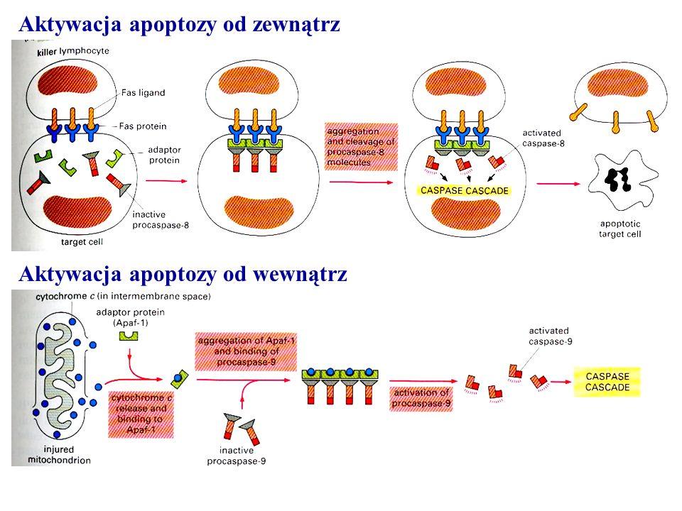 Aktywacja apoptozy od zewnątrz Aktywacja apoptozy od wewnątrz