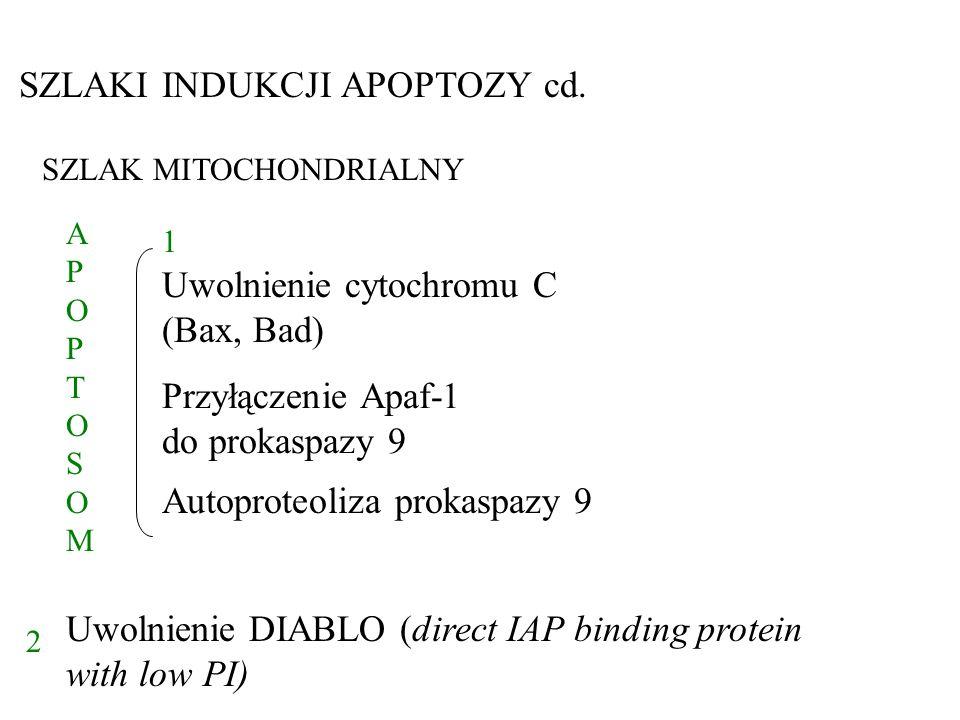SZLAK MITOCHONDRIALNY 1 2 Uwolnienie DIABLO (direct IAP binding protein with low PI) SZLAKI INDUKCJI APOPTOZY cd. APOPTOSOMAPOPTOSOM Uwolnienie cytoch