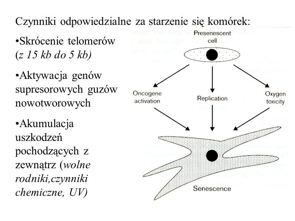 Czynniki odpowiedzialne za starzenie się komórek: Skrócenie telomerów (z 15 kb do 5 kb) Aktywacja genów supresorowych guzów nowotworowych Akumulacja u