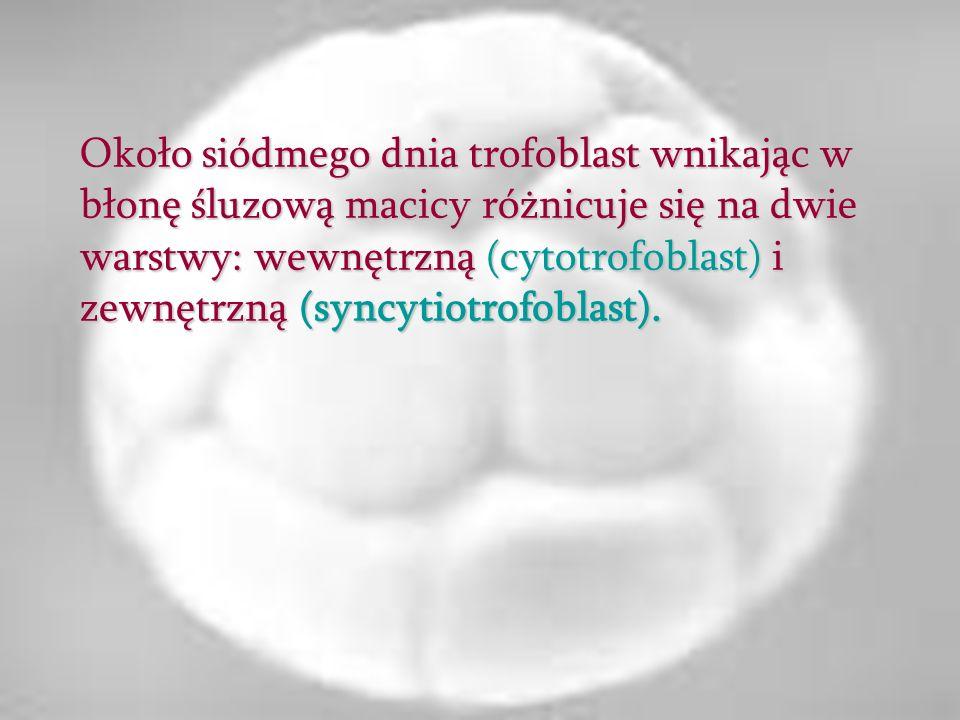 Około siódmego dnia trofoblast wnikając w błonę śluzową macicy różnicuje się na dwie warstwy: wewnętrzną (cytotrofoblast) i zewnętrzną (syncytiotrofob