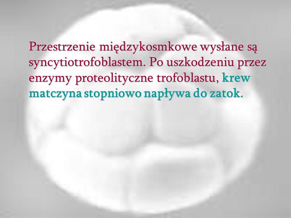 Przestrzenie międzykosmkowe wysłane są syncytiotrofoblastem. Po uszkodzeniu przez enzymy proteolityczne trofoblastu, krew matczyna stopniowo napływa d